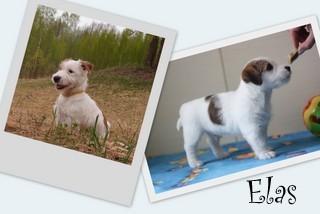 Elas Ištikimas šuo